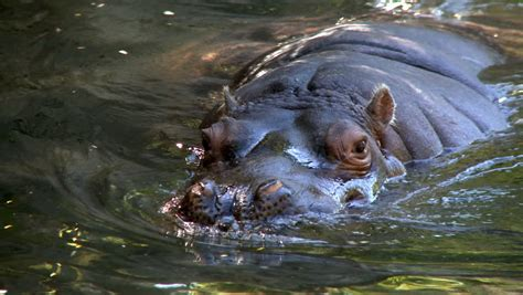 Hippos Ears Wiggling Stock Footage Video 1770479